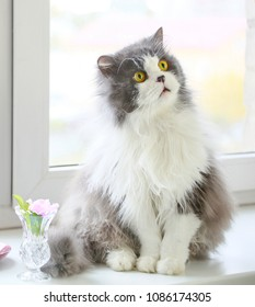 Longhaired white and grey cat relaxing on the window. Crossbreed cat