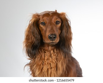 Longhaired wiener dog in a studio. Dachshund with white background.