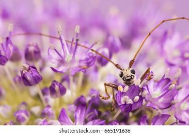 Longhorn beetle, Allium, close-up.