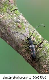 a Longhorn beetle - Anoplodera sexguttata