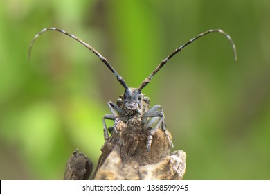Longhorn Beetle (Cerambycidae sp.) resting on a log on the Great Wall of China, Beijing Province, China.