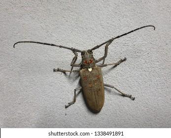 Longhorn beetle. Coleoptera-Cerambycidae or sugarcane stem boring grub