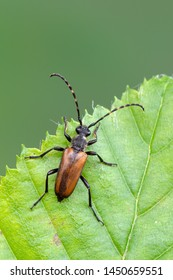 a Longhorn beetle - Corymbia maculicornis