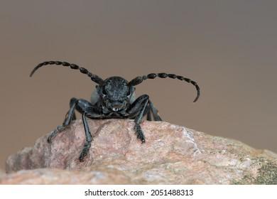 a longhorn beetle - Dorcadion fuliginator