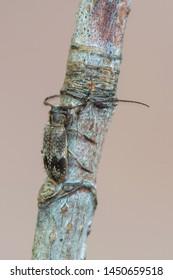 a Longhorn beetle - Exocentrus adspersus