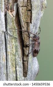 a Longhorn beetle - Exocentrus punctipennis