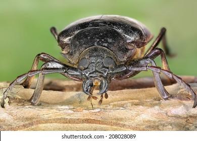 Longhorn beetle (Mesoprionus besikanus). Close up