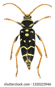 Long-horn beetle, Plagionotus arcuatus (Coleoptera: Cerambycidae) is one of the stem pest of a deciduous trees: oak, maple, hazel, linden. Isolated on a white background