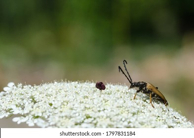 Longhorn beetle, Red-brown Longhorn Beetle, on a wild carrot flower