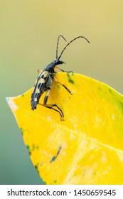 Longhorn beetle - Spotted Longhorn - Rutpela maculata