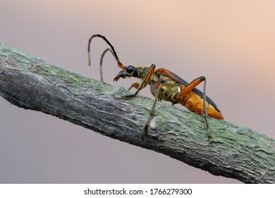 a longhorn beetle - Stenocorus meridianus