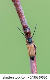 a Longhorn beetle - Tetrops praeustus