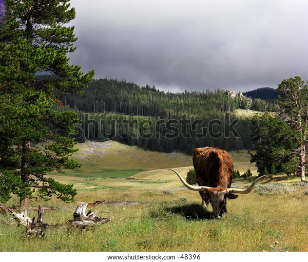 Longhorn in bighorn mountians