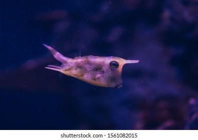 Longhorn boxfish (Lactoria cornuta) cowfish