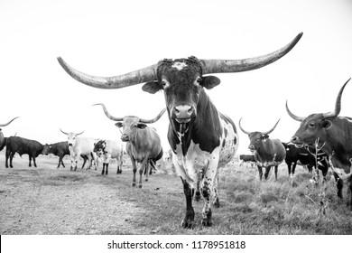 longhorn bull and cows black and white