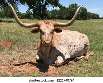 Longhorn bull, Longhorn steer, Texas Longhorn.