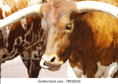 Longhorn cattle are walked on a Texas street