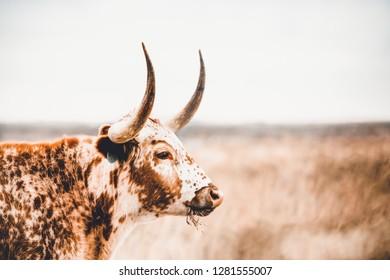 longhorn cow closeup side view