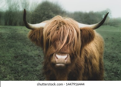 Longhorn cow from denmark eating grass