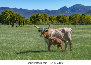 Longhorn Cow with Feeding Calf in Green Pasture with Fence, Trees and Mountains on a bright sunny day.