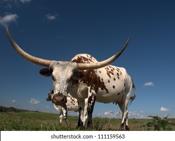 Longhorn cow  home on the range just west of Edmonton, Alberta Canada.  These animals are descendants of stock imported from Texas in the 1960s.  They've been a boon to Alberta's agricultural industry
