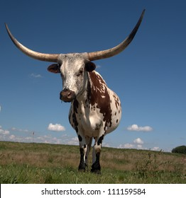 Longhorn cow home on the range just west of Edmonton, Alberta Canada.  These animals are descendants of stock imported from Texas in the 1960s. They have been a boon to Alberta's agricultural industry