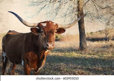 Longhorn cow on rural farm, big horns.  Good agriculture background