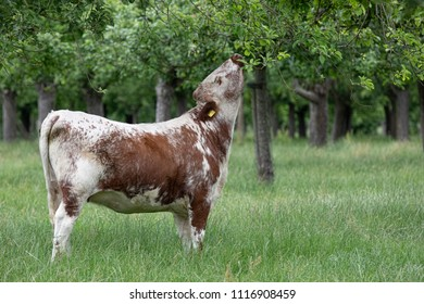 Longhorn cow in an orchard eating leaves from an apple tree
