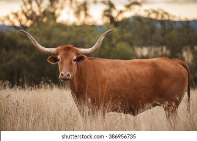 Longhorn cow in the paddock during the afternoon in Queensland