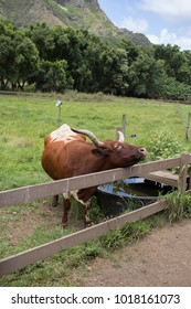 Longhorn Cow Rests Head on Fence
