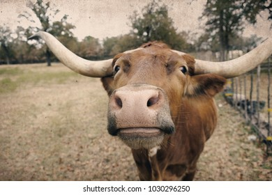 Longhorn cow shows nose closeup, friendly heifer on rural Texas ranch.  Agriculture industry with antique feel to image.