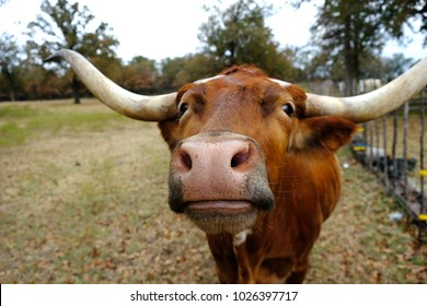 Longhorn cow standing in rural farm pasture looking cute with large horns.  Great agriculture image for cattle.
