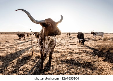 Longhorn cow with sun over her shoulder