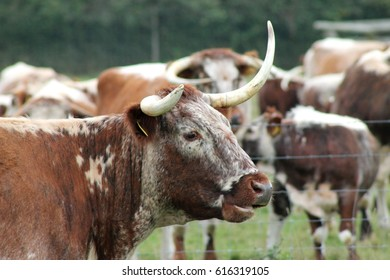 Longhorn Cow in West Sussex, England