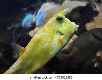 longhorn cowfish (Lactoria cornuta)