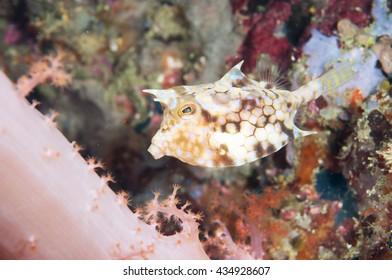 Longhorn cowfish, Lactoria cornutus