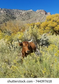 longhorn in desert landscape