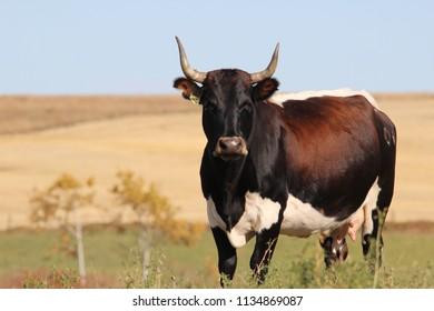 Longhorn Heifer in hay field