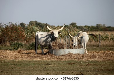 Long-horn Hungarian grey cattle eating hay in the field.