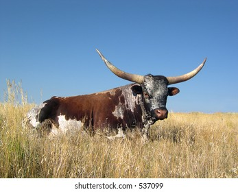 LongHorn resting in tall grass