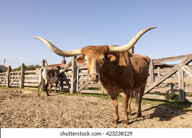 Longhorn steer in Fort Worth Stockyards. Texas, United States