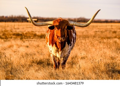 A longhorn steer posing for the camera