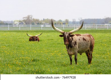 Longhorn Steers grazing in a green pasture