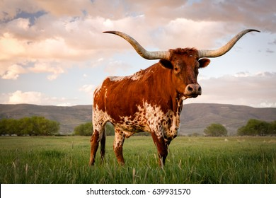 Longhorn at sunset