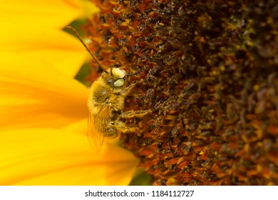A Long-horned Bee is collecting nectar from a large Sunflowerhead. Rosetta McClain Gardens, Toronto, Ontario, Canada.