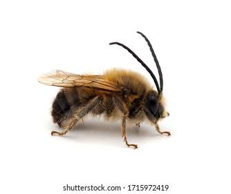 Long-horned bee , Eucera sp. isolated on white background