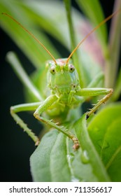 Long-horned Orthopterans Suborder Ensifera