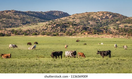 Longhorns and Bison grazing in the Wichita Mountains of Oklahoma