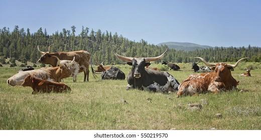 Longhorns In Pasture