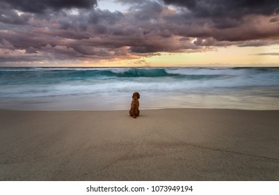 Longing Dog by the ocean, Sydney Australia